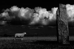 19 - Sheep In Front Of Stone
