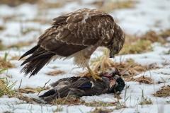 Musvåge på and i sneen